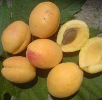 Абрикос колоновидний Ананасовий<br>Абрикос колонновидный Ананасовый<br>Prunus armeniaca columnar Аnanasovij