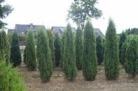 Ялівець звичайний Хіберніка <br> Можжевельник обыкновенный Хиберника <br> Juniperus communis Hibernica