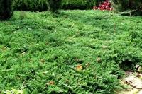 Ялівець горизонтальний Принц Уельський <br> Можжевельник горизонтальный Принц Уэльский <br> Juniperus horizontalis Prince of Wales