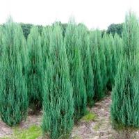 Ялівець скельний Скайрокет <br> Можжевельник скальный Скайрокет <br> Juniperus scopulorum Skyrocket