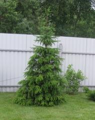 Ялина сербська Колоновидна<br>Ель сербская Колоновидная<br>Picea omorika