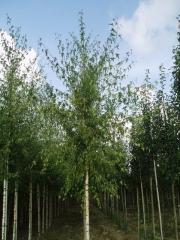 Береза Плакуча 'Лациниата'<br>Береза плакучая 'Лациниата'<br>Betula pendula 'Laciniata'