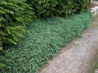 Ялівець горизонтальний Вілтоні <br> Можжевельник горизонтальный Вилтони <br> Juniperus horizontalis Wiltonii