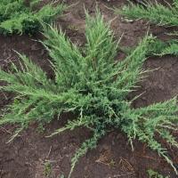 Ялівець козацький Глаука  <br> Можжевельник казацкий Глаука <br> Juniperus sabina Glauca