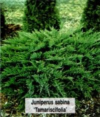 Ялівець козацький Тамарисцифолія <br> Можжевельник казацкий Тамарисцифолия <br> Juniperus sabina Tamariscifolia