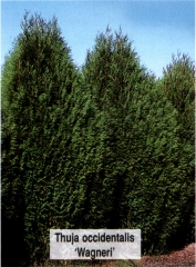 Туя західна 'Вагнері' <br> Туя западная 'Вагнери' <br>Thuja occidentalis 'Wagneri'