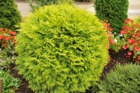 Туя західна Голден Глоуб <br> Туя западная Голден Глоуб <br> Thuja occidentalis Golden Globe
