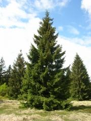 Ялина звичайна / європейська Ексцелса <br>Ель обыкновенная / европейская Эксцелса <br>Picea abies Excelsa
