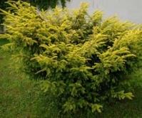 Тис ягідний Елегантіссіма <br> Тис ягодный Элегантиссима <br> Taxus baccata Elegantissima
