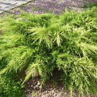 Ялівець середній / пфітцеріана Moрдіган Голд <br> Можжевельник средний / пфитцериана Мордиган Голд <br> Juniperus media / pfitzeriana Mordigan Gold