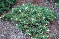 Ялівець китайський Експанса Варієгата <br> Можжевельник китайский Экспанса Вариегата <br> Juniperus chinensis Expansa Variegata
