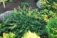 Ялівець звичайний Репанда <br> Можжевельник обыкновенный Репанда <br> Juniperus communis Repanda