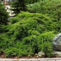Ялівець середній Пфітцеріана Компакта <br> Можжевельник средний Пфитцериана Компакта <br> Juniperus media Pfitzeriana Compacta
