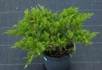 Ялівець козацький Рокері Джем <br> Можжевельник казацкий Рокери Джем <br> Juniperus sabina Rockery Gem