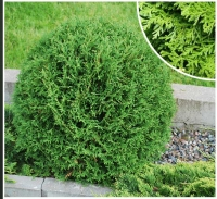 Туя західна Тіні Тім <br> Туя западная Тини Тим <br>Thuja occidentalis Tiny Tim