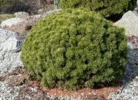 Сосна гірська Міні Мопс<br>Сосна горная Мини Мопс<br>Pinus mugo Mini Mops