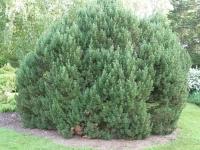 Сосна гірська Мопс <br> Сосна горная Мопс <br> Pinus mugo Mops