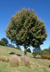 Клен ясенелистий <br>Acer negundo<br>Клён ясенелистный