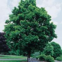 Клен гостролистий <br> Клён остролистный <br> Acer platanoides