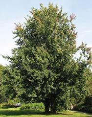 Клен сріблястий<br>Клён серебристый<br>Acer saccharinum