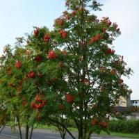 Горобина звичайна <br> Рябина обыкновенная <br> Sorbus aucuparia
