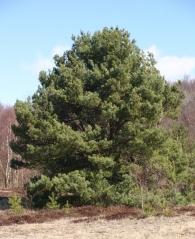 Сосна звичайна <br>Сосна обыкновенная<br> Pinus sylvestris