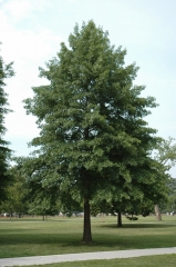 Дуб болотний<br>Quercus palustris<br>Дуб болотный