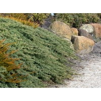 Ялівець середній Пфітцеріана Глаука <br> Можжевельник средний Пфитцериана Глаука <br> Juniperus media Pfitzeriana Glauca