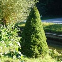 Ялина канадська  сиза Цукерхут <br> Ель канадская / сизая Цукерхут <br> Picea glauca Zuckerhut