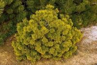 Сосна гiрська Карстенс Вiнтерголд<br>Сосна горная Карстенс Винтерголд<br>Pinus mugo Carstens Wintergold