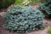 Ялина колюча Вальдбрун <br>Ель колючая Вальдбрун <br>Picea pungens Waldbrunn