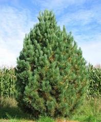 Кедр європейський / Сосна кедрова <br> Кедр европейский / Сосна кедровая <br>Pinus cembra