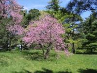 Церціс канадський / Іудове дерево <br> Церцис канадский / Иудино дерево <br> Cercis canadensis