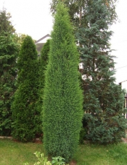 Ялівець звичайний Суецика <br> Можжевельник обыкновенный Суэцика <br> Juniperus communis Suecica