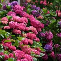 Гортензія крупнолиста Букет Троянд <br> Гортензия крупнолистная Букет Роз <br> Hydrangea macrophylla Bouquet Rose