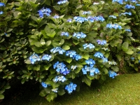 Гортензія крупнолиста Блаумайс <br> Гортензия крупнолистная Блаумайс <br> Hydrangea macrophylla Blaumeise
