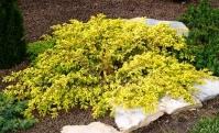 Ялівець звичайний Депресса Ауреа <br> Можжевельник обыкновенный Депресса Ауреа <br> Juniperus communis Depressa Aurea
