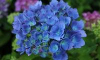 Гортензія крупнолиста Блю Донау <br> Гортензия крупнолистная Блю Донау <br> Hydrangea macrophylla Blue Danube