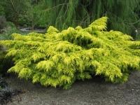 Ялівець середній Кербері Голд <br> Можжевельник средний Кербери Голд <br> Juniperus pfitzeriana Carbery Gold