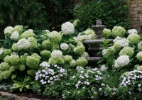Гортензія деревовидна Стронг Анабель ® <br> Гортензия древовидная Стронг Анабель ® <br>Hydrangea arborescens Strong Annabelle ®