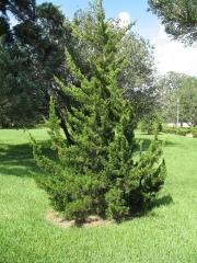 Ялівець віргінський Канаерті <br> Можжевельник виргинский Канаэрти <br> Juniperus virginiana Сanaertii