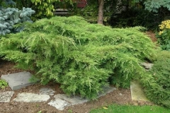 Juniperus media pfitzeriana 'Old Gold'