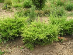 Juniperus media 'Mordigan Gold'