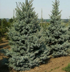 Picea pungens Omega