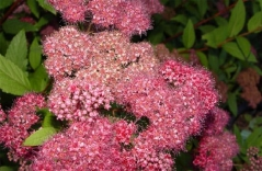 Spiraea Dart's Red