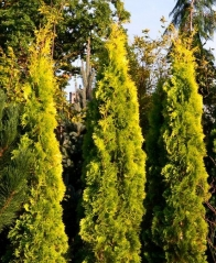 Thuja occidentalis Jantar