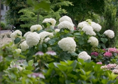 Hydrangea arborescens Strong Annabelle ®