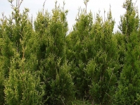 Туя западная Ауреоспиката <br>Туя західна Ауреоспіката <br>Thuja occidentalis Aureospicata
